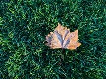Icy elm leaf Royalty Free Stock Photo