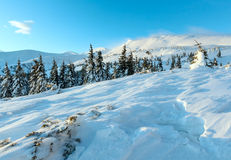 Icy fir under snowdrift on slope (in front). Morning winter mountain landscape with fir trees on slope (Carpathian Royalty Free Stock Photo