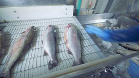 Icy fish is getting put onto the conveyor belt