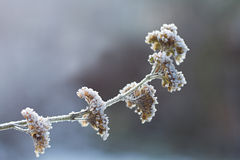 The icy flowers of the winter. Frosted branch with ripe Royalty Free Stock Image