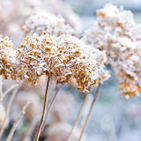 The icy flowers of the winter. Frosted hydrangea with ripe - square image Royalty Free Stock Image