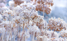 The icy flowers of the winter. Frosted hydrangea with ripe Stock Photography