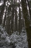 Icy Forest. Tall pines and underbrush during a freezing rain storm Stock Photo