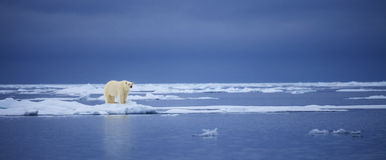 Icy Fringe. A polar bear stands on the edge of an ice floe overlooking the cold arctic water. Taken off the northern coast of the Svalbard Archipelago Stock Photo