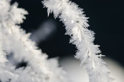 Icy Frost Crystals Clinging to the Frozen Winter Foliage Royalty Free Stock Images