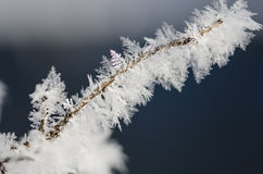 Icy Frost Crystals Clinging to the Frozen Winter Foliage Stock Photos