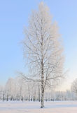 Icy frozen birch Stock Photo