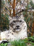 Icy gaze. A snow leopard keeping watch Stock Photo