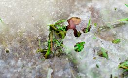 Icy grass with a chesnut on sunny spring morning. Royalty Free Stock Photos