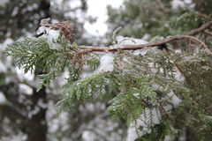 Icy green branches arborvitae. Under snow Stock Photos