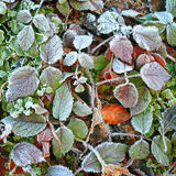 Icy green leaves Royalty Free Stock Image