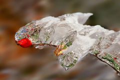 Icy hip. In autumn after ice rain stock images