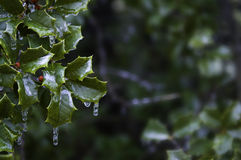 Icy holly branch with copyspace Stock Images
