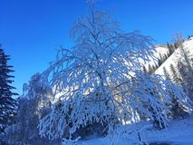 Icy Kanas Forest In Winter Royalty Free Stock Photography