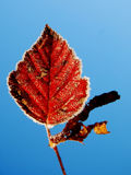 Icy leaf Stock Images