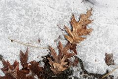 Icy Leaves Royalty Free Stock Photography