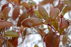 Icy leaves in winter Royalty Free Stock Photo