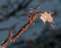 Icy maple leaf and branch Royalty Free Stock Photos