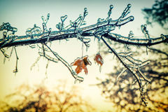 Icy Maple Tree Branches in the Sunlight - Retro Royalty Free Stock Photography