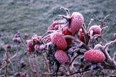 Frosty rosehips on a winter morning stock images