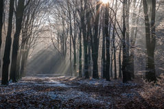 Icy morningsun through the leafs of National Park the Veluwe Royalty Free Stock Photo