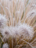 Icy  Pennisetum alopecuroides grass Royalty Free Stock Images