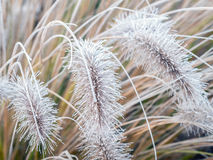 Icy  Pennisetum alopecuroides grass Stock Image