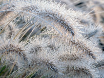 Icy  Pennisetum alopecuroides grass Stock Photo