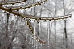 icy persika för filial Royaltyfria Bilder