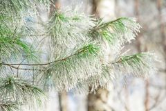Icy pine branch silk Royalty Free Stock Photography