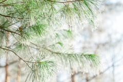 Icy pine branch silk Stock Photo