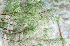 Icy pine branch silk Royalty Free Stock Image