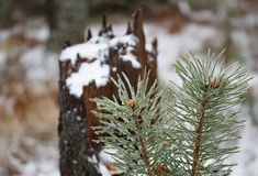 Icy pine branch in winter. Stock Image