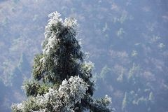 Icy pine tree branch Stock Images
