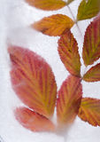 Icy plants Royalty Free Stock Photography