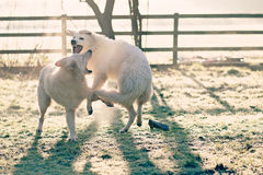 Icy play. Two white shepherd dogs playing on a cold winter`s morning Stock Photos