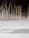 Icy pond frozen over with dead birch trees Royalty Free Stock Images