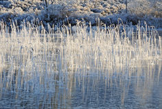 Icy pond and reed bed. A frozen pond in the Scottish Highlands showing reeds covered in white frost poking through the ice and caught in a beam of winter royalty free stock photography