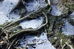 Icy puddles on the ground. Thin ice sheets made from puddles on the ground. With tree roots royalty free stock photos