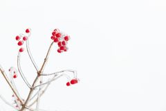 Icy red rowan branch Stock Photography