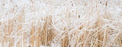 Icy reeds Stock Photos
