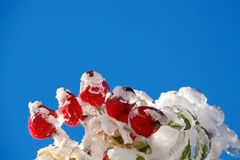 Icy rosehips Stock Photo
