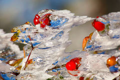 Icy rosehips. In autumn after ice storm royalty free stock images