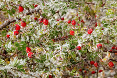 Icy rosehips. In autumn after storm Stock Image