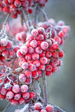 Icy rowan berries Stock Images
