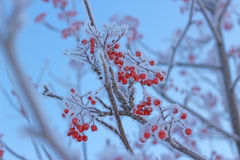 Icy rowan berries Stock Photo