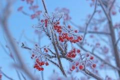 Icy rowan berries Stock Photo