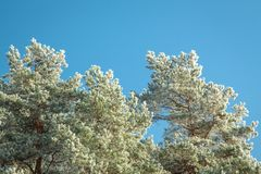 Icy Scots pine. Pinus sylvestris Royalty Free Stock Image