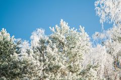 Icy Scots pine. Pinus sylvestris Royalty Free Stock Images