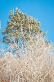 Icy Scots pine Royalty Free Stock Photo